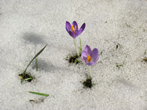 Crocus in the meadow with melting snow Royalty Free Stock Photos
