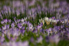 meadow with tender purple and white crocus Stock Photos