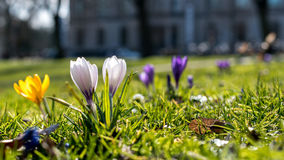 Crocus on a meadow. Some crocus flowers isolated on a green meadow, in bright white yellow and purple color Stock Image