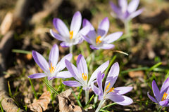 Crocus on meadow. In spring royalty free stock photos