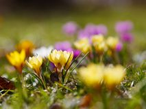 Crocus meadow spring Stock Photography