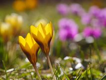 Crocus meadow spring Stock Photos
