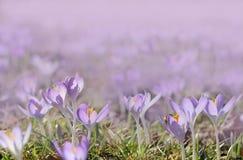 Crocus meadow at springtime Stock Photo
