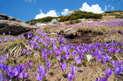 Crocus meadow Royalty Free Stock Photography
