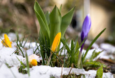 Crocus in melting snow Stock Image