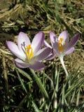 Crocus, messager du printemps 1 Image libre de droits