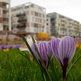 Crocus in the middle of the city stock image