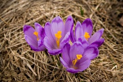 Crocus mountains flora Stock Images