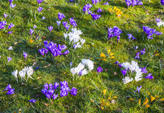 Crocus is one of the first spring flowers can used as background Stock Photography