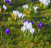 Crocus is one of the first spring flowers can used as background Royalty Free Stock Photos