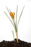 Crocus opening. Crocus bulb growing in soil with flower bud opening Royalty Free Stock Photo