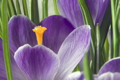 Crocus orange pistil  Stock Photos