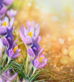 Crocus over sunny blurred nature background with bokeh, close up Stock Photo