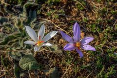 Crocus pallasii. Is a species of flowering plant in the genus Crocus of the family Iridaceae. A member of the saffron group, series Crocus, with common features Stock Images
