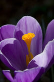 The crocus pistil. Royalty Free Stock Photography