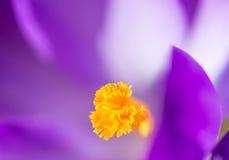 Crocus Pistil. Pistil of a purple crocus blossom stock images