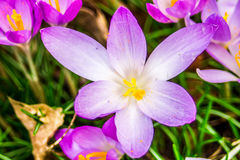 Crocus, plural crocuses or croci. Is a genus of flowering plants in the iris family. A single crocus, a bunch of crocuses, a meadow full of crocuses, close-up Royalty Free Stock Photo