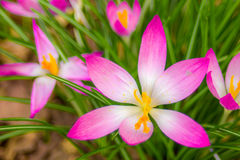 Crocus, plural crocuses or croci. Is a genus of flowering plants in the iris family. A single crocus, a bunch of crocuses, a meadow full of crocuses, close-up Stock Photo