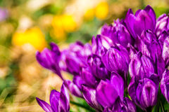 Crocus, plural crocuses or croci. Is a genus of flowering plants in the iris family. A single crocus, a bunch of crocuses, a meadow full of crocuses, close-up Stock Images