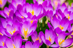 Crocus, plural crocuses or croci. Is a genus of flowering plants in the iris family. A single crocus, a bunch of crocuses, a meadow full of crocuses, close-up Royalty Free Stock Image
