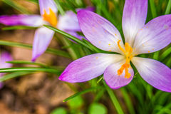 Crocus, plural crocuses or croci. Is a genus of flowering plants in the iris family. A single crocus, a bunch of crocuses, a meadow full of crocuses, close-up Stock Photos