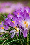 Crocus, plural crocuses or croci. Is a genus of flowering plants in the iris family. A single crocus, a bunch of crocuses, a meadow full of crocuses, close-up Stock Image