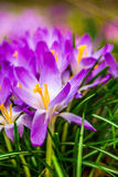 Crocus, plural crocuses or croci. Is a genus of flowering plants in the iris family. A single crocus, a bunch of crocuses, a meadow full of crocuses, close-up Stock Photography