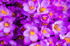 Crocus, plural crocuses or croci. Is a genus of flowering plants in the iris family. A single crocus, a bunch of crocuses, a meadow full of crocuses, close-up Royalty Free Stock Photos