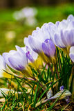 Crocus, plural crocuses or croci. Is a genus of flowering plants in the iris family. A single crocus, a bunch of crocuses, a meadow full of crocuses, close-up Royalty Free Stock Images