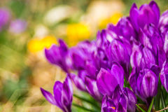 Crocus, plural crocuses or croci. Is a genus of flowering plants in the iris family. A single crocus, a bunch of crocuses, a meadow full of crocuses, close-up Royalty Free Stock Photography
