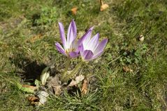 Crocus plural: crocuses or croci is a genus of flowering plants in the iris family. A single crocus. Crocus on the green grass. Green meadow Stock Images