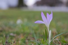 crocus pojedynczy violet obraz royalty free