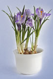 Crocus in a pot Royalty Free Stock Photos