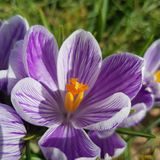 Crocus pourpre photo stock