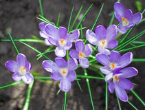 Crocus pourpre photos stock