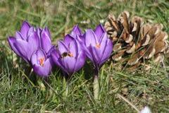 Crocus pourpre au printemps dans l'herbe dans le jardin Image stock