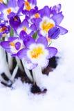 Crocus pourpre dans la neige Photos stock