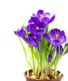 Crocus tôt de fleur de ressort pour Pâques Photos libres de droits
