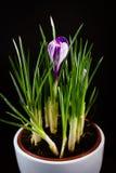 Crocus pourpre de première fleur de ressort sur un fond noir Images libres de droits