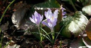 Crocus pourpres au printemps Photos libres de droits