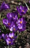 Crocus pourpres de floraison Photographie stock libre de droits