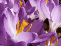 Crocus Profile. Early spring crocus in dappled sunlight Stock Image