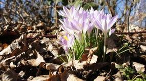 Crocus purple spring Royalty Free Stock Photography