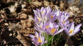 Crocus purple spring Stock Photos