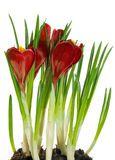 Crocus red Royalty Free Stock Photos