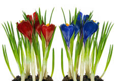 Crocus red and blue Royalty Free Stock Image