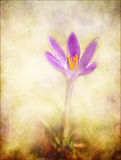 Crocus, romantic background textured. royalty free stock photography