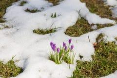 Crocus s'élevant hors de la neige Photos libres de droits