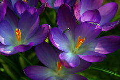 Crocus - saffron. Flower of crocus in spring in a field stock photos
