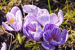 Crocus saffron first spring flower grow in garden Stock Photo